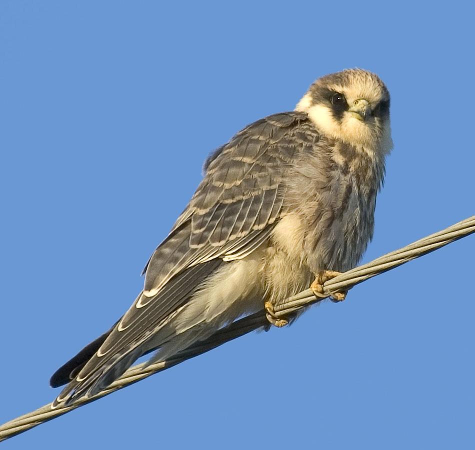 http://www.ornithologist.ru/foto/f.vespertinus.jpg