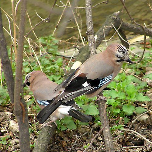 Альфред Брем так описывает способности сойки Иногда птица кричит
