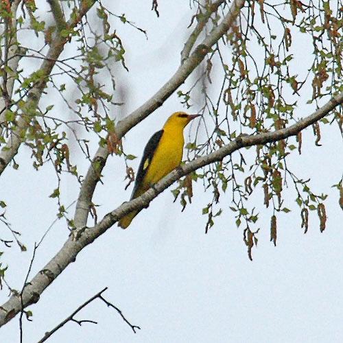 Птицы величиной со скворца, но меньше галки.