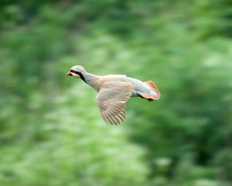 кеклик фото птица