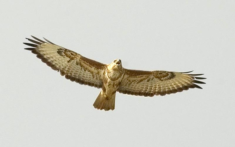 канюк птица фото