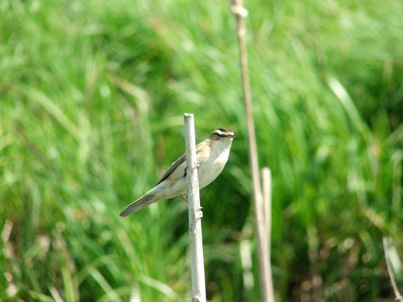 гоголь птица фото